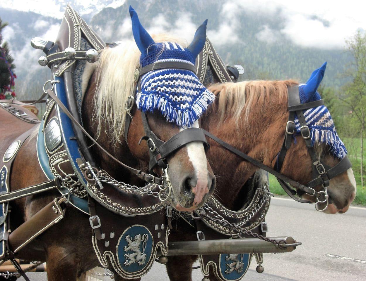 Kutschenfahrten mit starken Haflingerpferden und Noriker Pferden